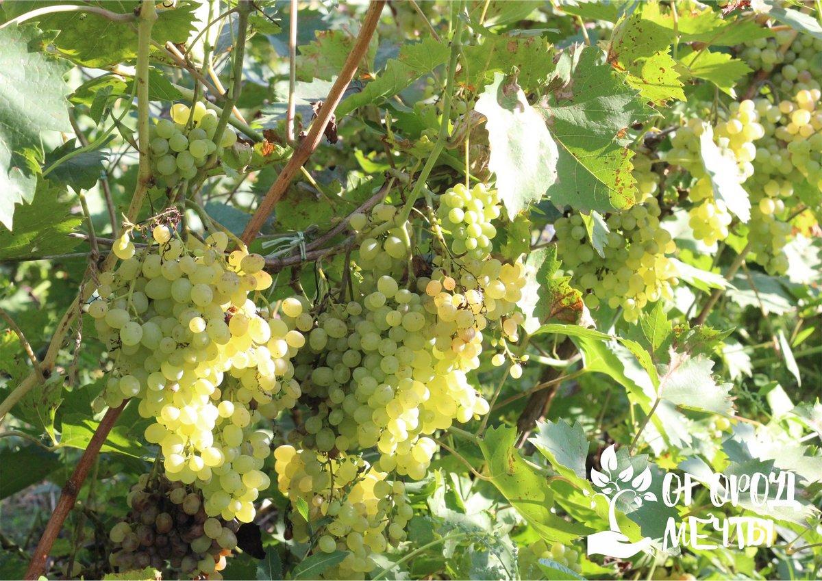 Чтобы улучшить процесс вызревания лозы, нужно подкармливать виноград калием