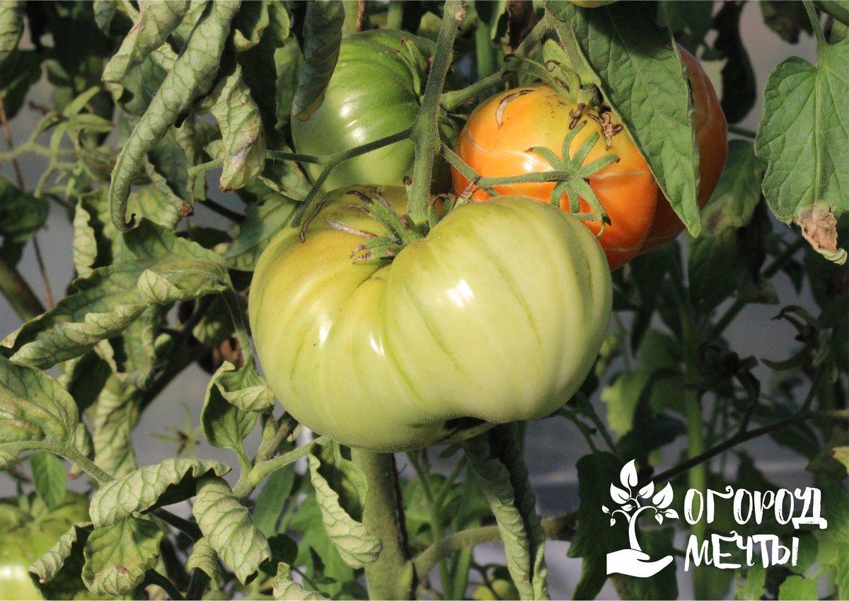 Что делать, если трескаются помидоры при созревании? Четыре причины, почему портится урожай на огороде