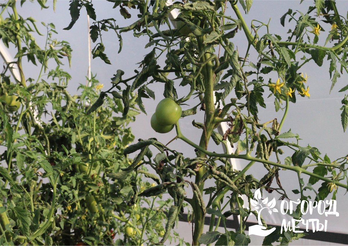Как спасти урожай томатов от растрескивания